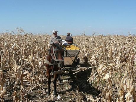 hoti-pe-teren-agricol-porumb